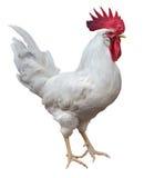空白雄鸡 库存照片