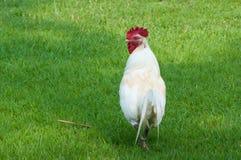 空白雄鸡 库存图片