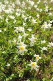 空白雪崩的lillies 免版税库存图片