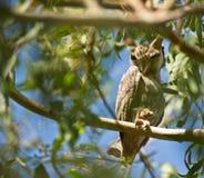 空白面对的猫头鹰的scops 免版税库存图片