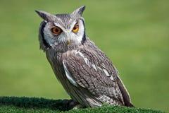 空白面对的猫头鹰的scops 库存图片