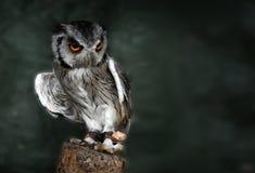 空白面对的猫头鹰的scops 库存照片
