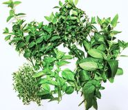 空白香葱新鲜的草本查出的香料 免版税库存图片