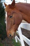 空白马的标号 免版税库存图片