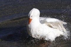 空白鸭子 免版税库存照片