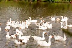 空白鹅在湖 免版税库存图片