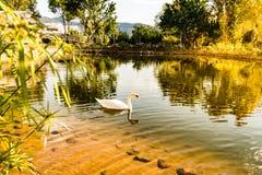 空白鹅游泳 库存照片