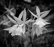 空白黑色的兰花 免版税库存图片