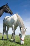 空白黑色的马 免版税库存照片