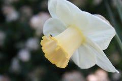 黄水仙空白黄色 库存照片