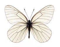 空白蝴蝶 库存照片