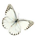 空白蝴蝶 免版税库存图片
