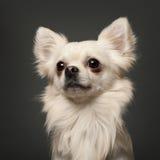 空白18个奇瓦瓦狗前的月 库存图片