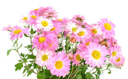 空白2朵的菊花 免版税库存照片
