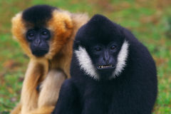 空白cheeked的长臂猿 免版税库存图片