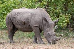 空白rhinocerous 免版税图库摄影