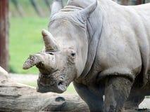 空白rhinocerous 库存照片