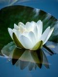 空白Waterlily 库存图片