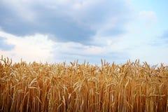 空的乡下路通过领域用麦子 库存图片