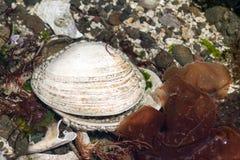 空的死的geoduck蛤蜊壳 免版税库存照片