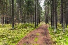 空的路在杉树森林,卡累利阿里 库存图片
