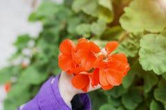 穿一件紫色夹克的小女孩的手的软的焦点在拿着一朵开花的红色美丽的花的庭院里 免版税库存图片