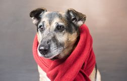 穿一条红色围巾的逗人喜爱的小狗狗 库存图片