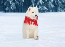 穿一条红色围巾的冬天美丽的白色萨莫耶特人狗坐在多雪的树的雪 免版税库存照片