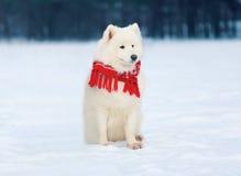 穿一条红色围巾的美丽的白色萨莫耶特人狗坐雪在冬天 库存图片