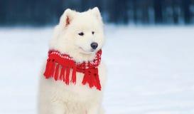 穿一条红色围巾的画象美丽的白色萨莫耶特人狗坐雪在冬天 免版税库存图片
