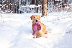穿一条围巾的狗品种金毛猎犬在冬天在公园 免版税库存照片