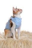穿医疗宠物衬衣的猫在手术以后 免版税库存图片