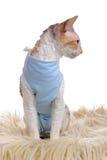 穿医疗宠物衬衣的猫在手术以后 免版税图库摄影