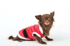 穿一件红色礼服圣诞老人的奇瓦瓦狗 免版税库存图片