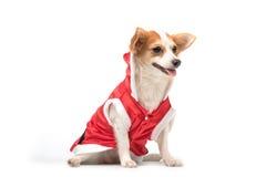 穿一件红色礼服圣诞老人的奇瓦瓦狗 免版税库存照片