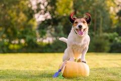穿万圣夜服装的愉快的狗站立在南瓜在草坪 免版税库存图片