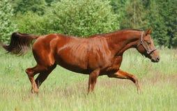 穿上母马红色栗色 免版税图库摄影