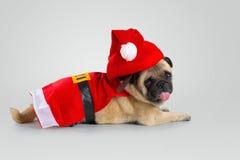 穿圣诞老人服装的逗人喜爱的哈巴狗小狗, 免版税库存图片