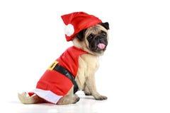穿圣诞老人服装的逗人喜爱的哈巴狗小狗 免版税库存照片