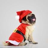 穿圣诞老人服装的逗人喜爱的哈巴狗小狗 免版税图库摄影