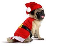穿圣诞老人服装的逗人喜爱的哈巴狗小狗 库存图片