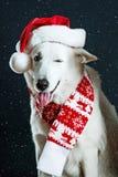 穿圣诞节帽子和围巾的快乐的狗 免版税库存照片