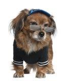 穿戴的混杂的狗约克夏 免版税库存图片
