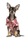 穿检查衬衣, 18个月的奇瓦瓦狗 库存照片
