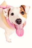 穿着披肩的逗人喜爱的滑稽的插孔罗素狗 免版税库存照片