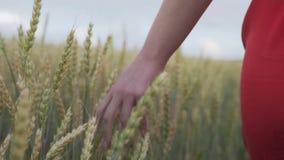 穿过一块麦田的女孩特写镜头的手 一件白色礼服的一个女孩走在日落,通过她的手 股票录像