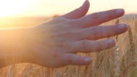 穿过一块麦田的妇女的手在日落,接触麦子的耳朵 免版税图库摄影