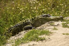 穿过一条土路的鳄鱼在佛罗里达 免版税图库摄影
