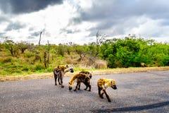穿过一条路的鬣狗家庭在克留格尔国家公园 库存照片