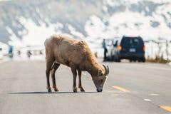 穿过主路,冰原公路,贾斯珀国家公园,旅行阿尔伯塔,加拿大人罗基斯,野生生物,加拿大的山绵羊 免版税库存图片